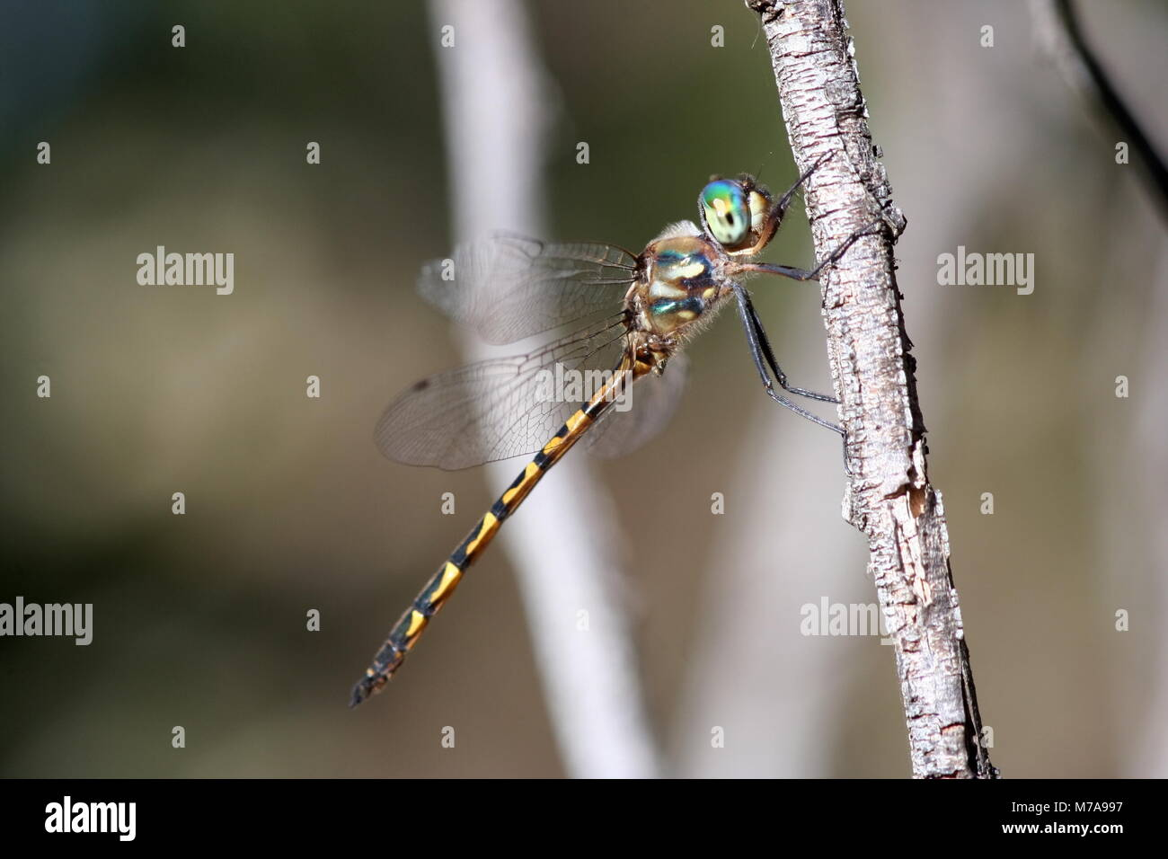 dragonfly on deviantart wm australian emerald by art