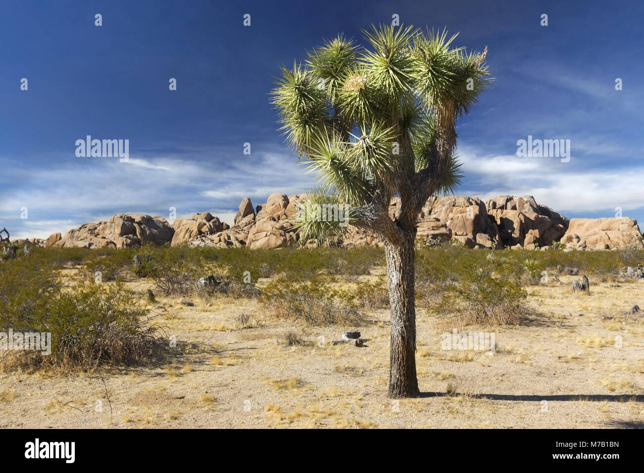 lone-isolated-joshua-tree-and-scenic-des