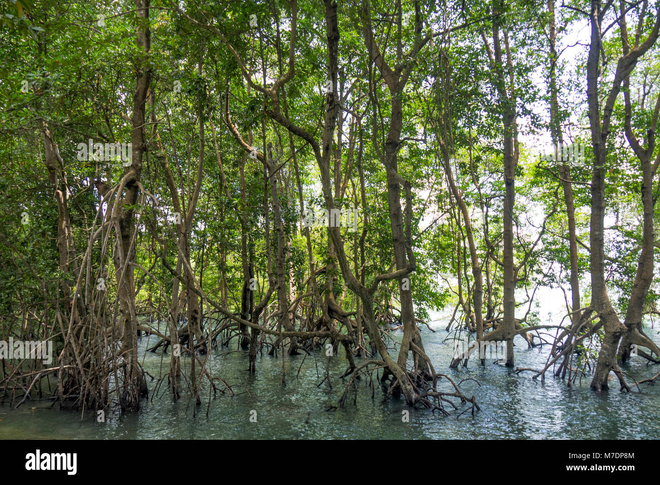 mangroves-in-chek-jawa-wetlands-on-the-island-of-pulau-ubin-singapore-M7DP8M.jpg