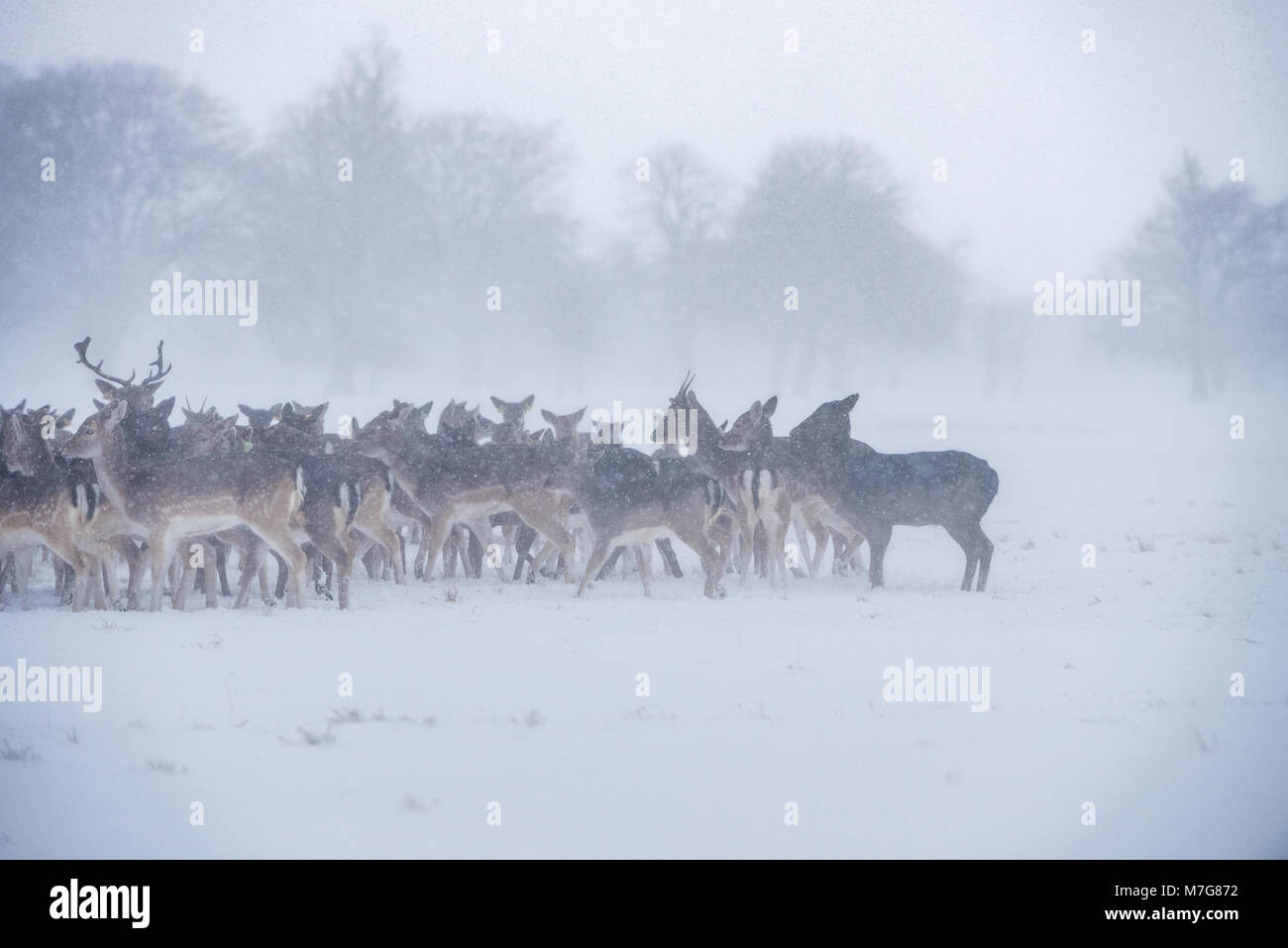 Deers at Phoenix Park in Dublin - Ireland - Stock Image