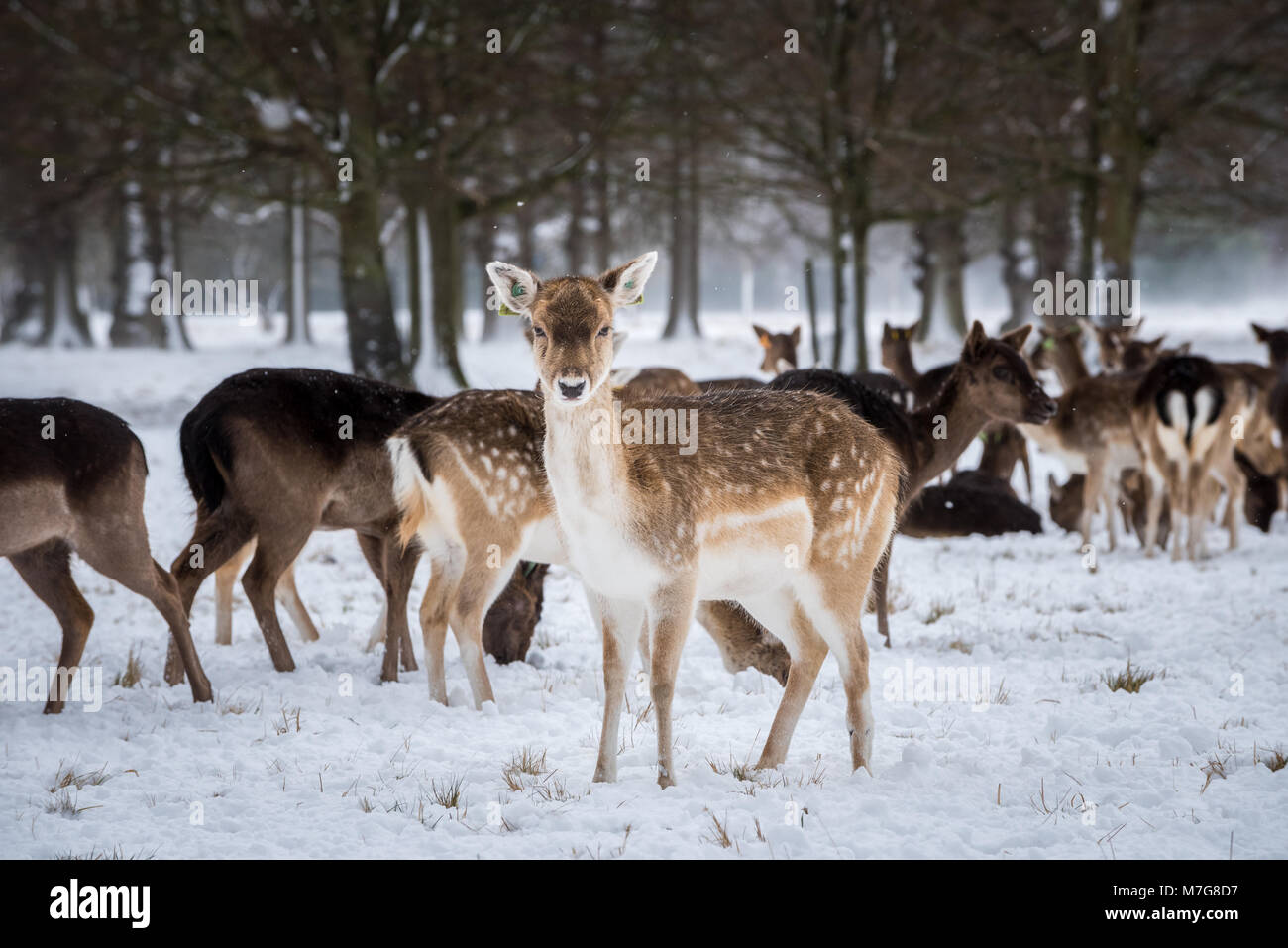Deers on the snow - Stock Image