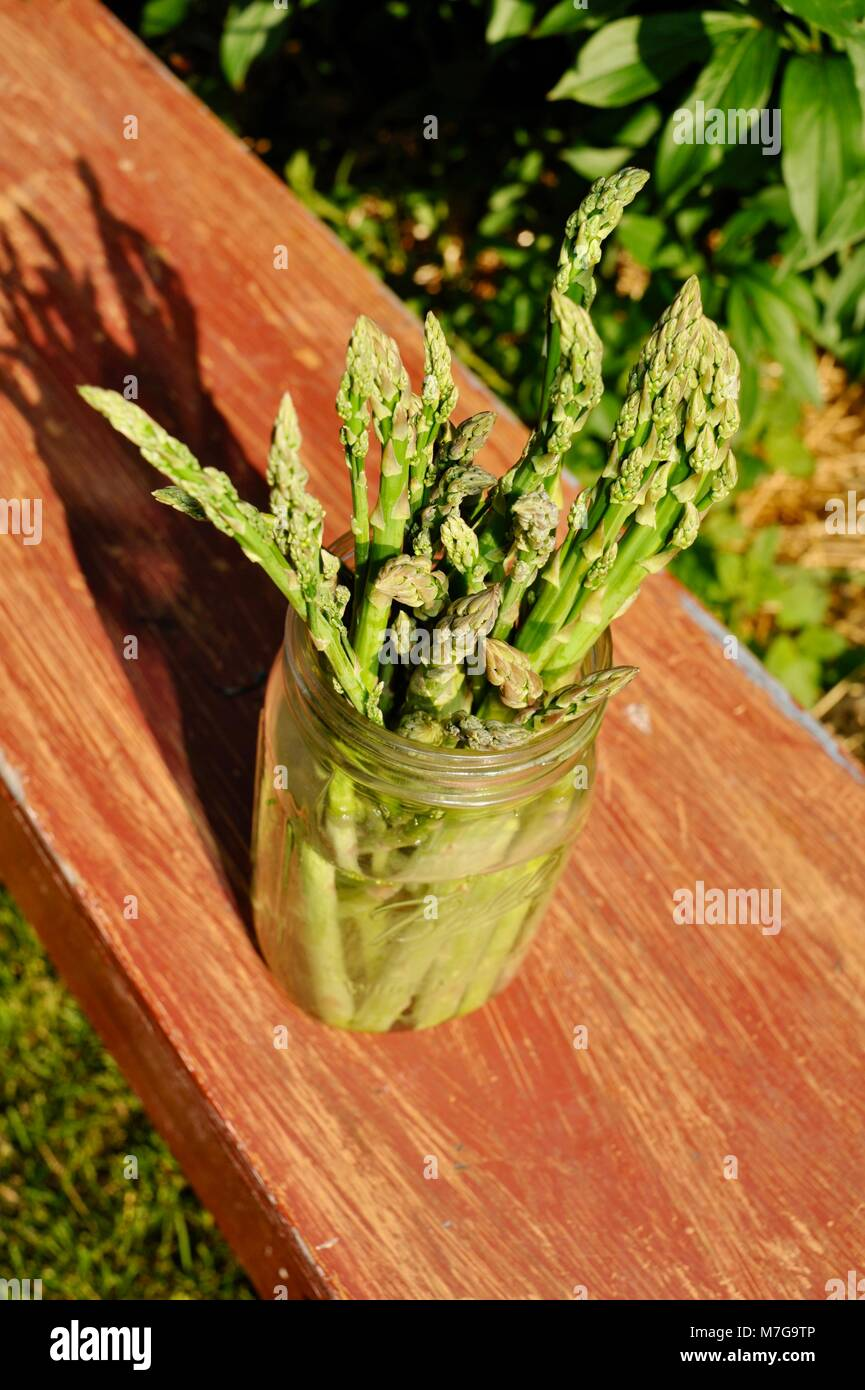 Freshly cut asparagus standing in a glass Mason canning jar with water on a painted bench outside, alongside a garden trowel.