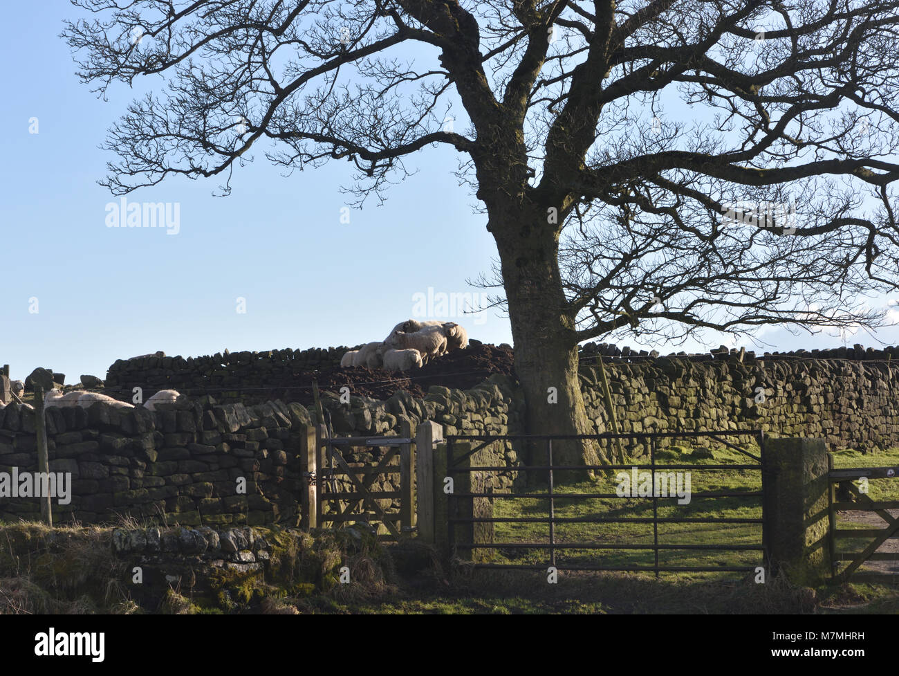 Sheep, dry stone walls and an ancient sycamore tree (Acer pseudoplatanus)  in winter sunshine below  Froggatt Edge. - Stock Image