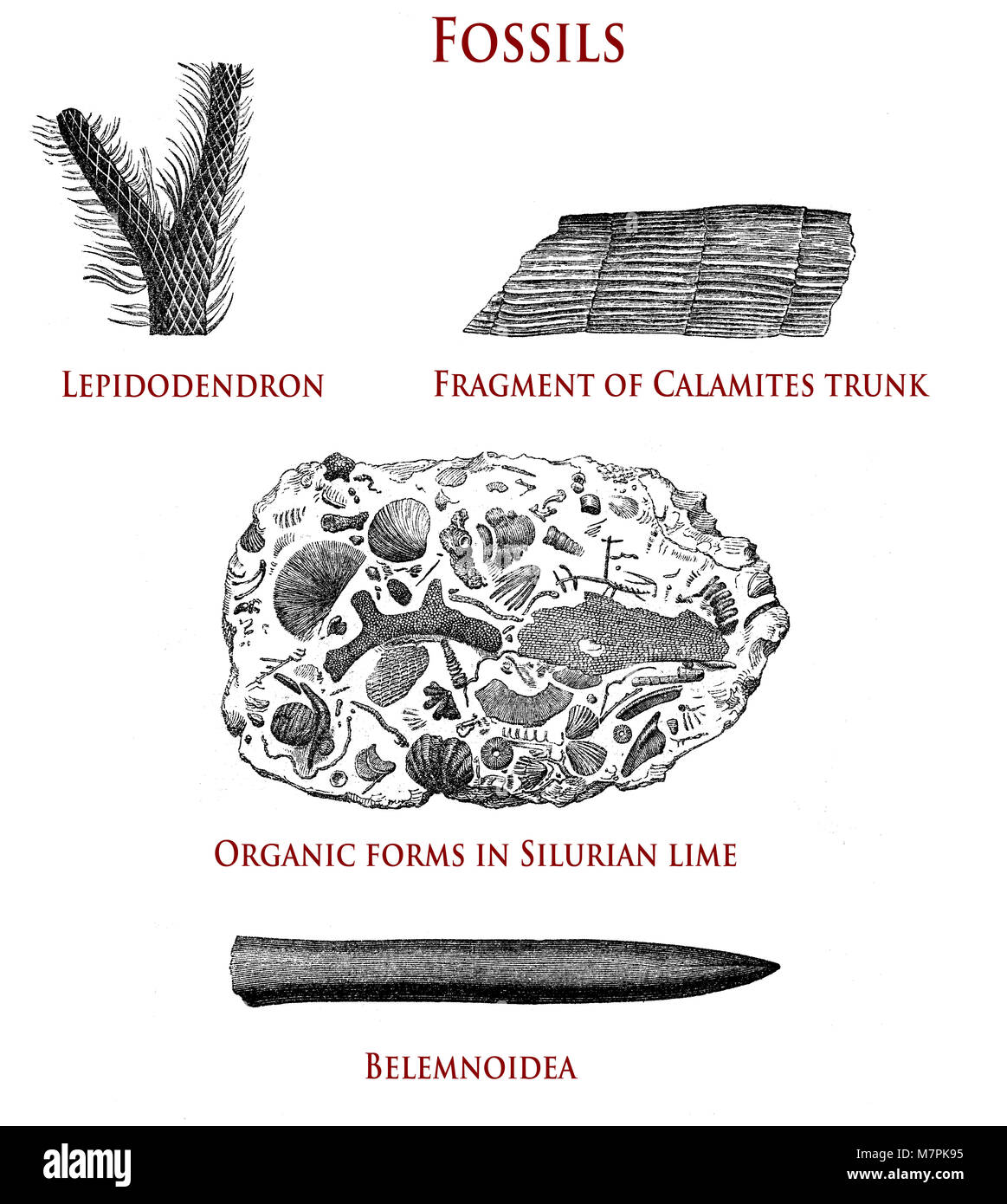 vintage illustration of fossils:  lepidodendron, calamites, organic forms in Silurian lime and belemnoidea - Stock Image