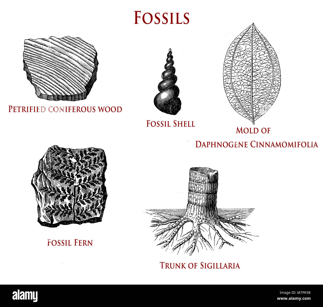 vintage illustration of fossils: petrified coniferous wood, shell, fern,sigillaria and daphnogene cinnamomifolia - Stock Image