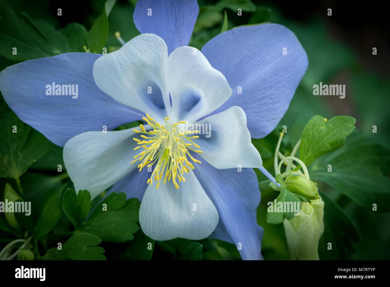 Colorado blue columbine aquilegia coerulea stock photo 176930762 colorado blue columbine aquilegia coerulea izmirmasajfo Images