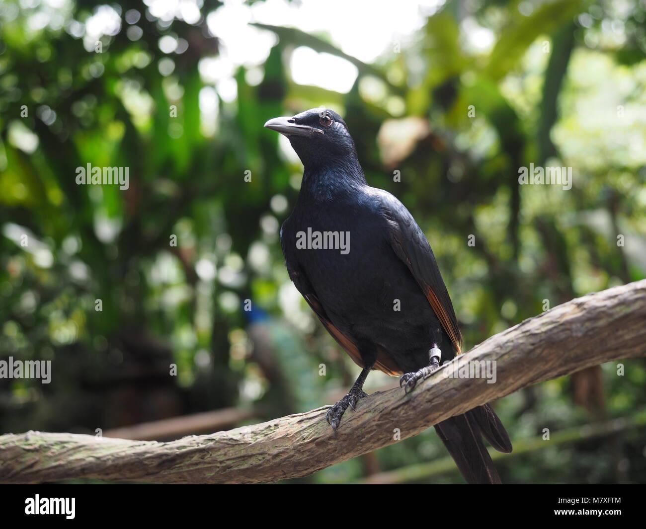 Black Bird Standing Proud - Stock Image