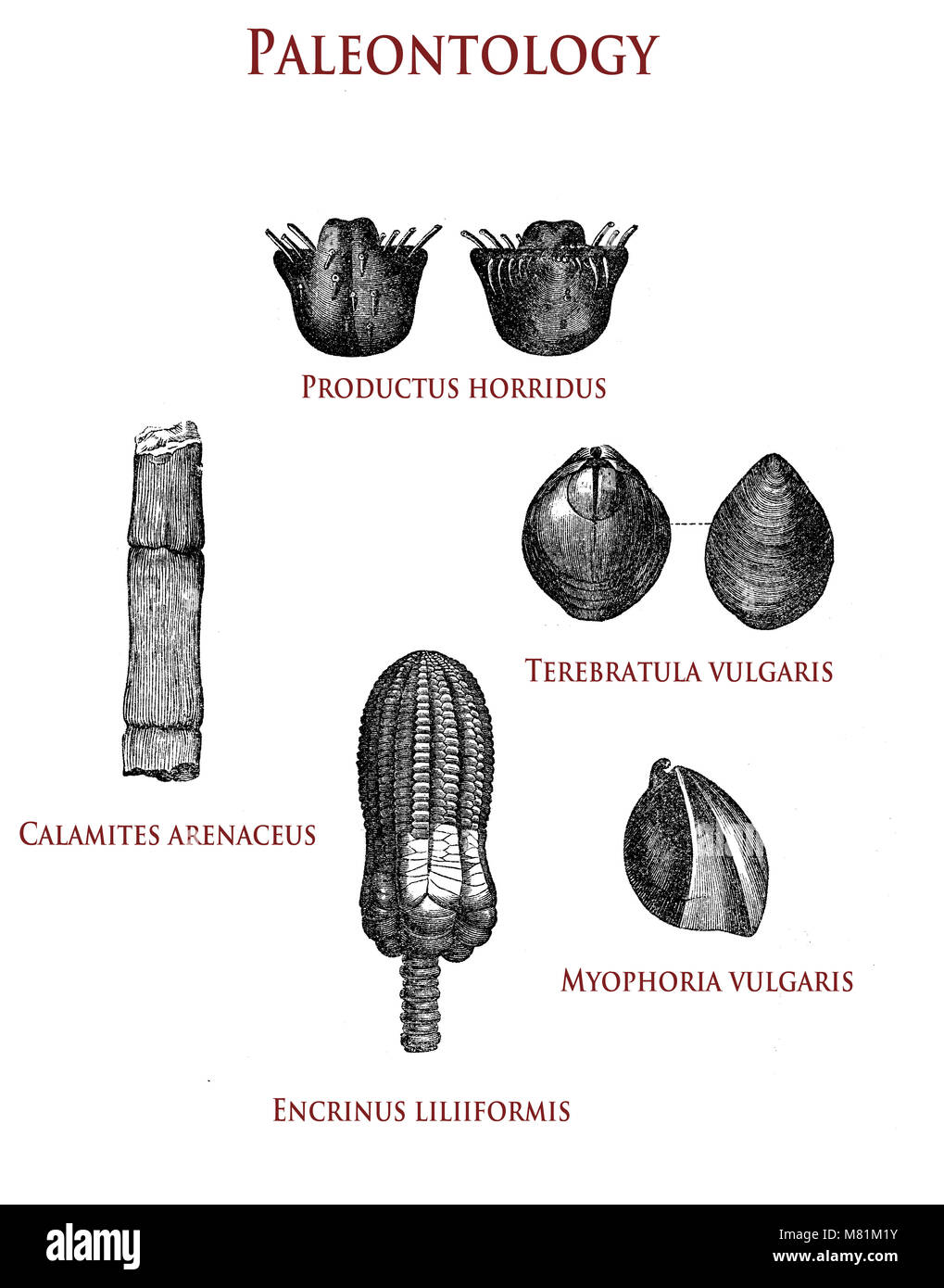 vintage illustration of paleontology fossilized plant and shells: productus horridus, calamites arenaceus, terebratula - Stock Image