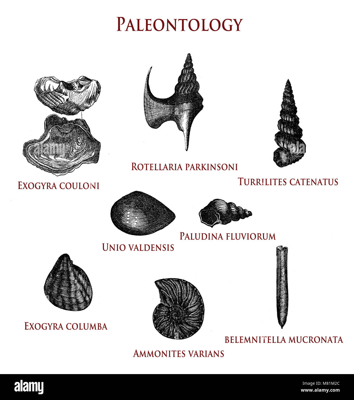 vintage paleontology  illustration of fossilized shells: exogyra couloni and columba, rotellaria parkinsoni,turrilites - Stock Image