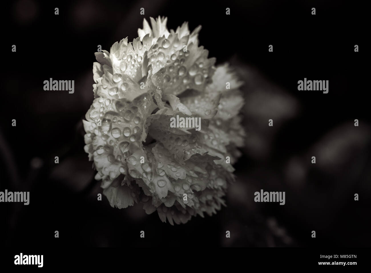 Carnation with Raindrops - Stock Image
