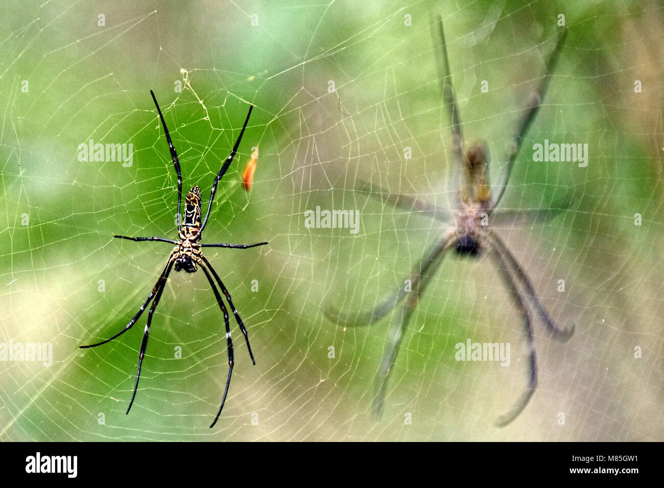 Orb Spiders - Singapore, Asia, - Stock Image