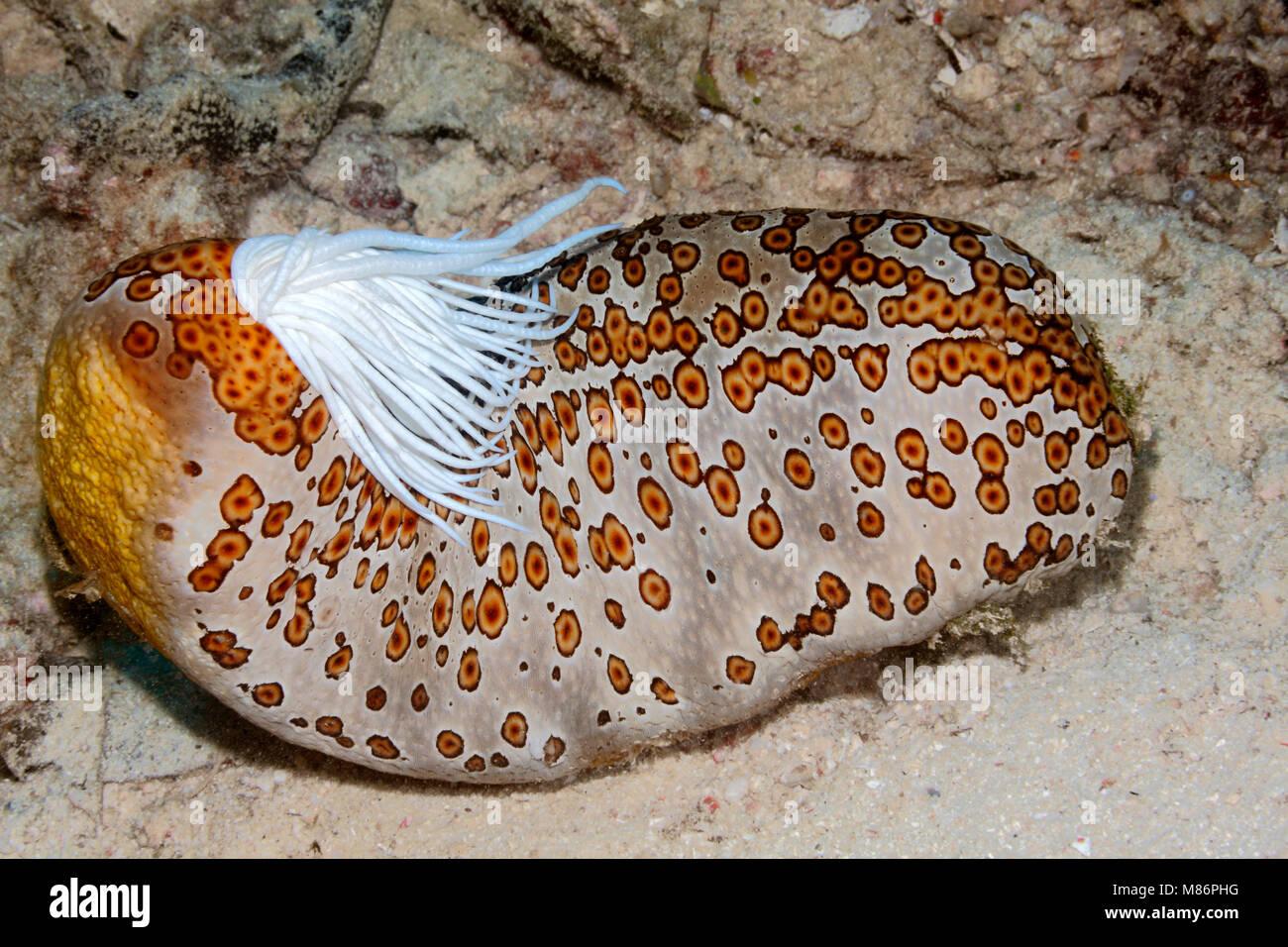 leopard-sea-cucumber-bohadschia-argus-extruding-sticky-white-cuvierian-M86PHG.jpg