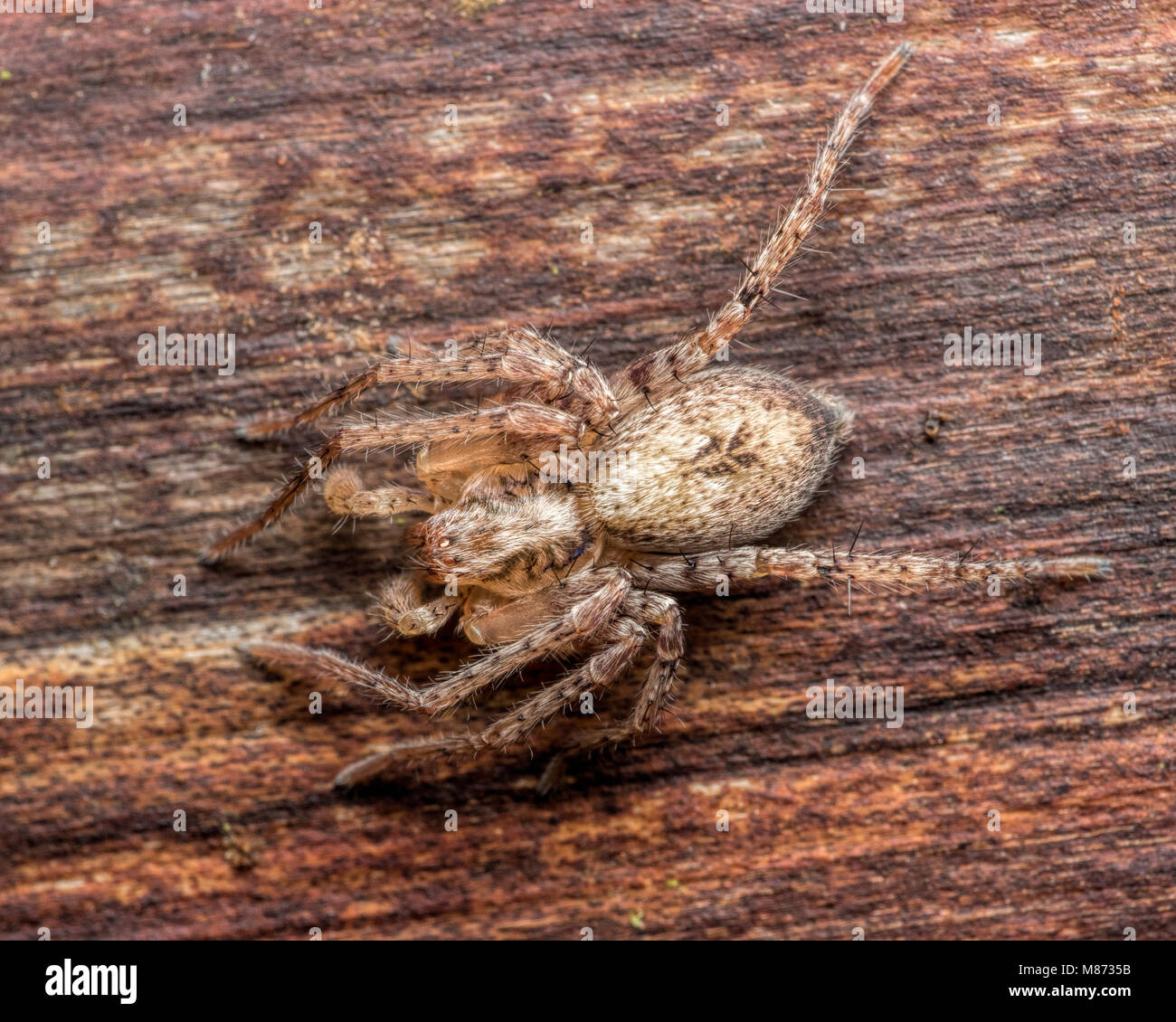Buzzing spider (Anyphaena accentuata) resting underneath bark on fencepost. Tipperary, Ireland - Stock Image