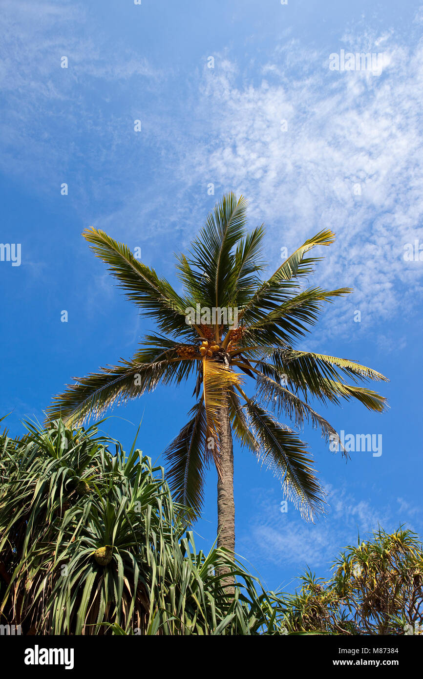 a mature sri lankan coconut tree at mount lavinia colombo with