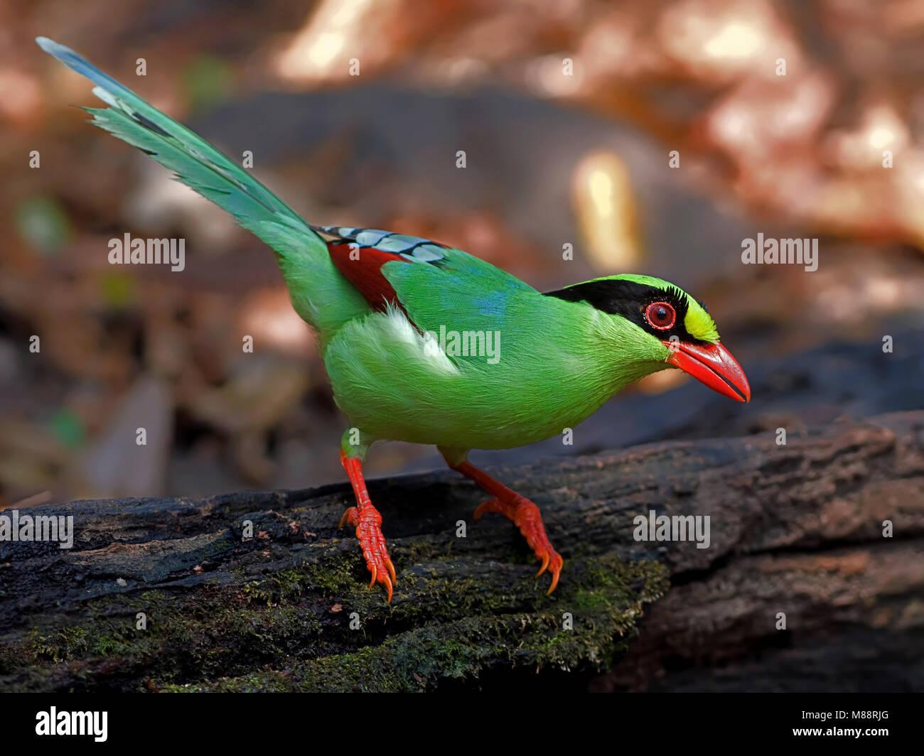 Groene Kitta, Green Magpie Stock Photo