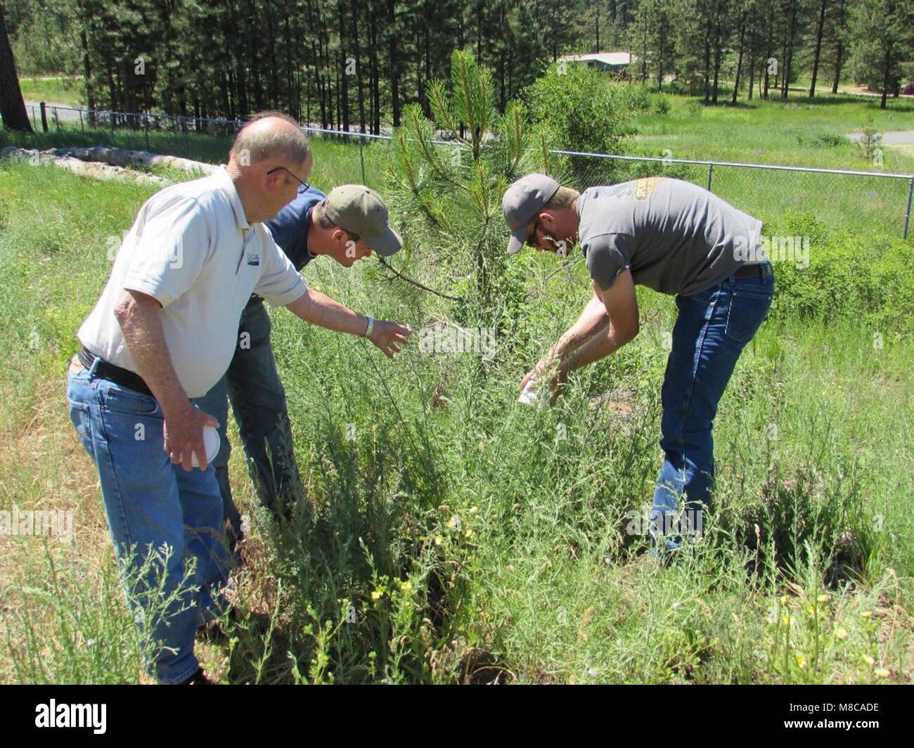Larry Skillestad of USDA APHIS PPQ Spokane, Washington, oversees the release of lesser knapweed flower weevil (Larinus - Stock Image