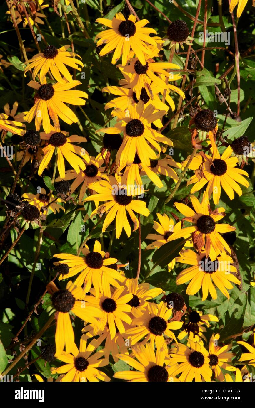 Black-eyed Susan (Rudbeckia) flowers, in bloom, in field or garden during bright summer day. - Stock Image