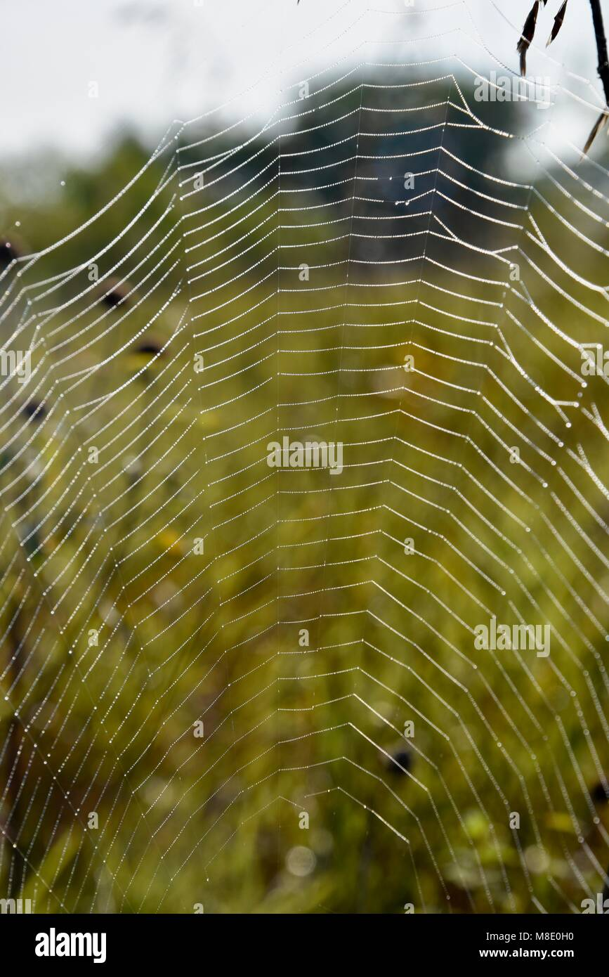 Black and Yellow Garden Spider (Argiope aurantia) or yellow garden orbweaver in web with dew droplets in morning - Stock Image