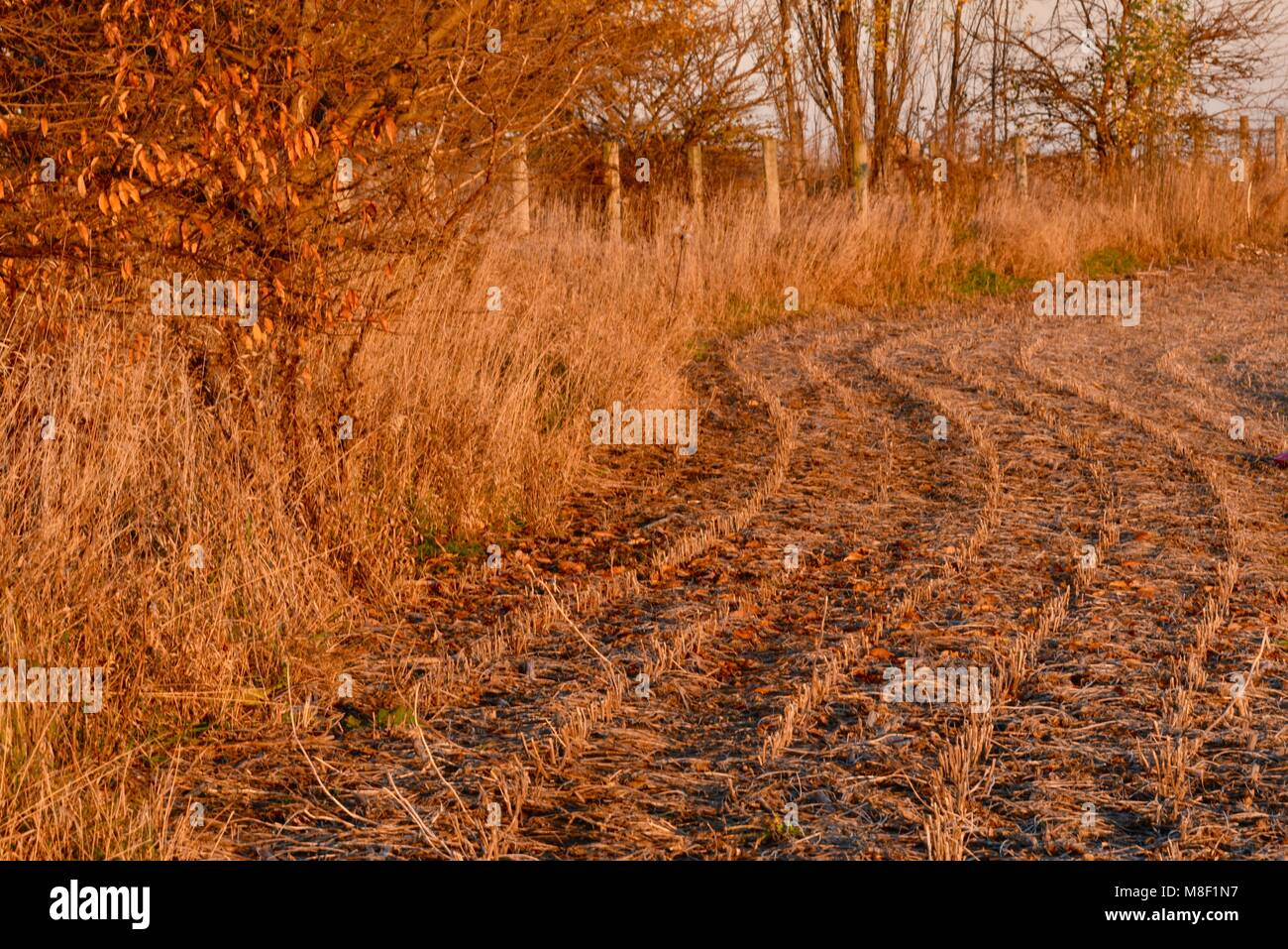 Remaining corn stalk stubble in fall after end of season harvest, at golden sunset in a corn field edge and fence, - Stock Image
