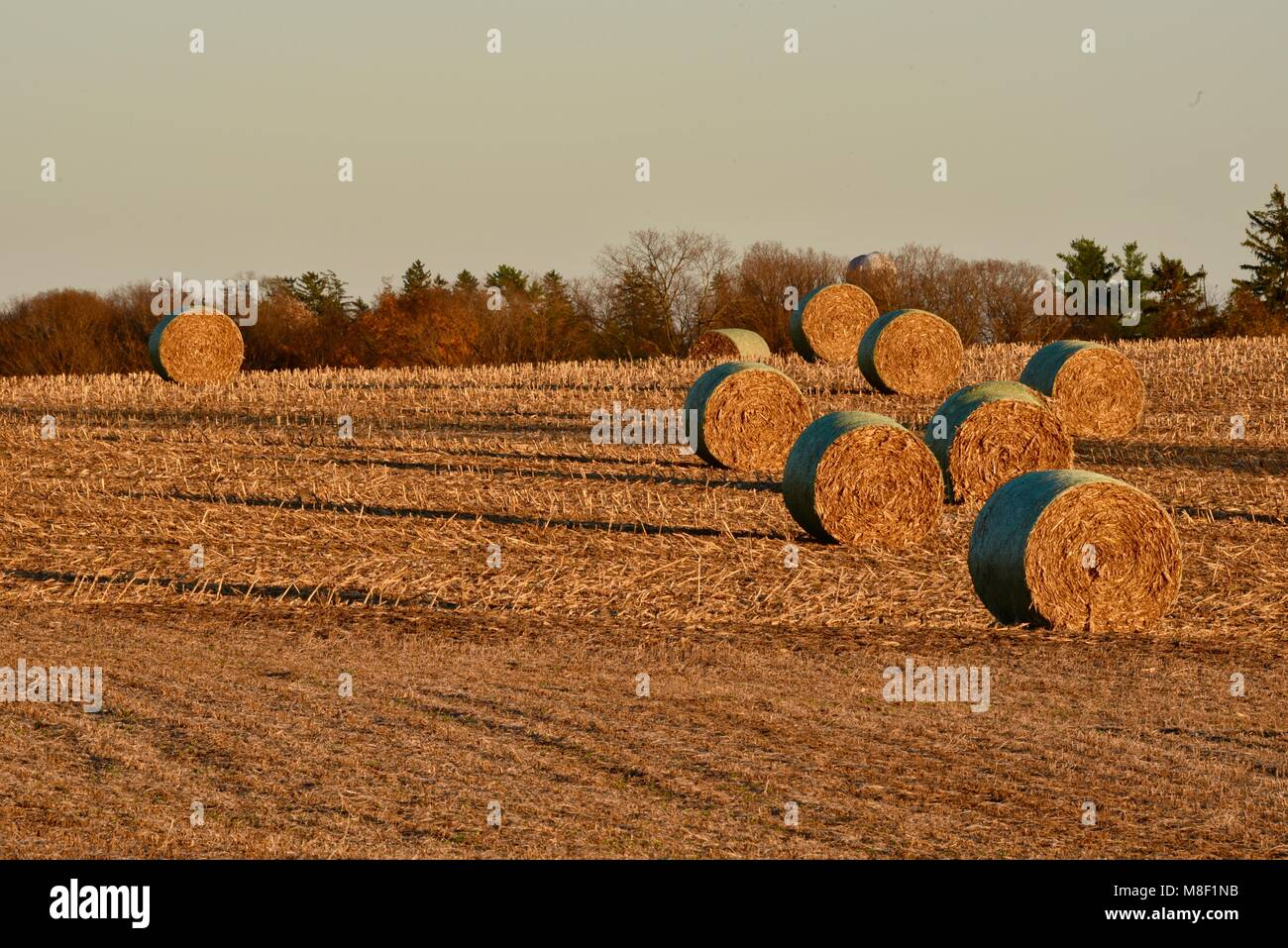 Large round bales of corn stalks, on fields of corn stubble, at golden sunset in the rural countryside outside Monroe, - Stock Image