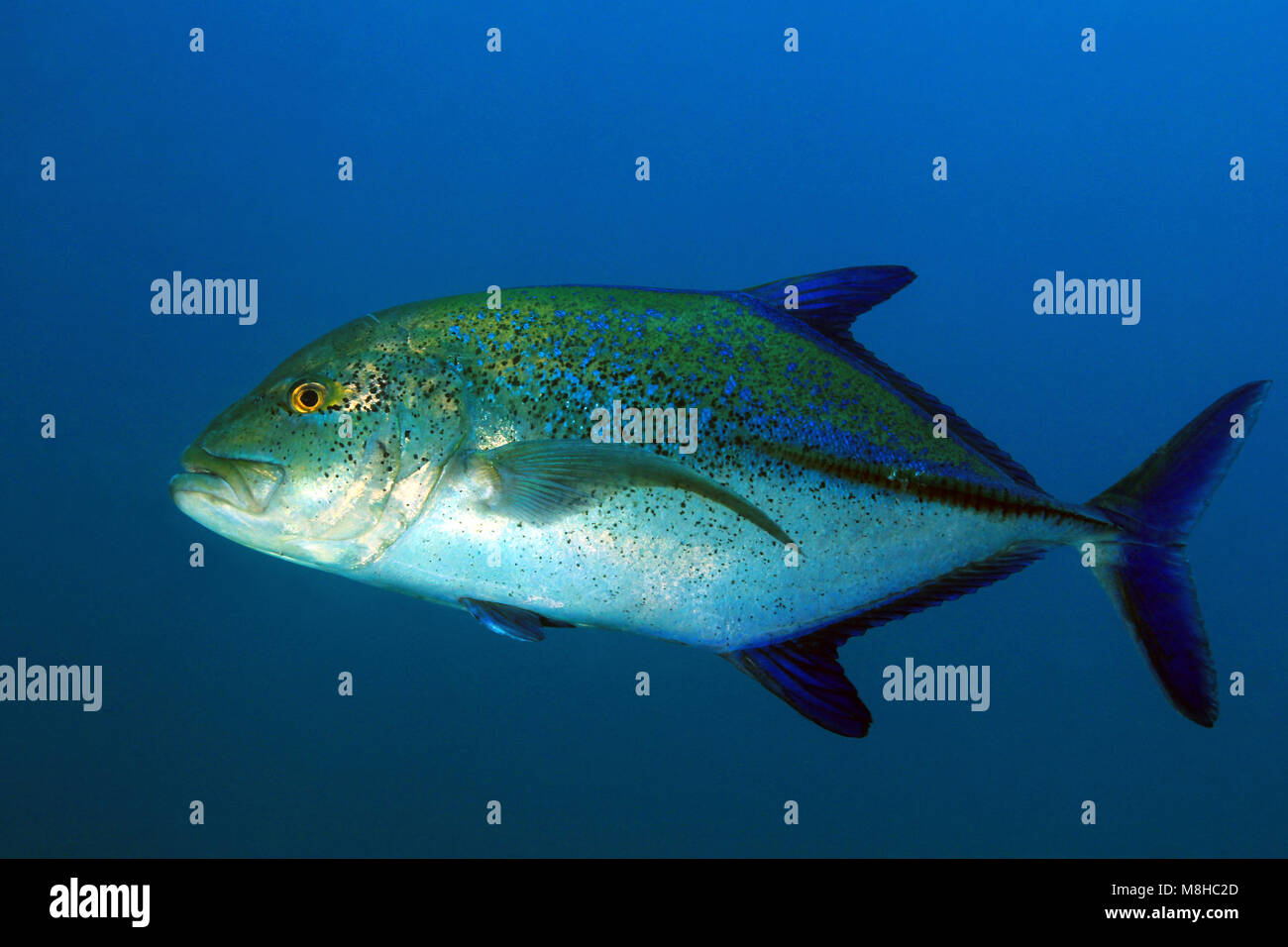 Bluefin Trevally (Caranx melampygus, aka Bluefin Jack). Coiba, Panama - Stock Image