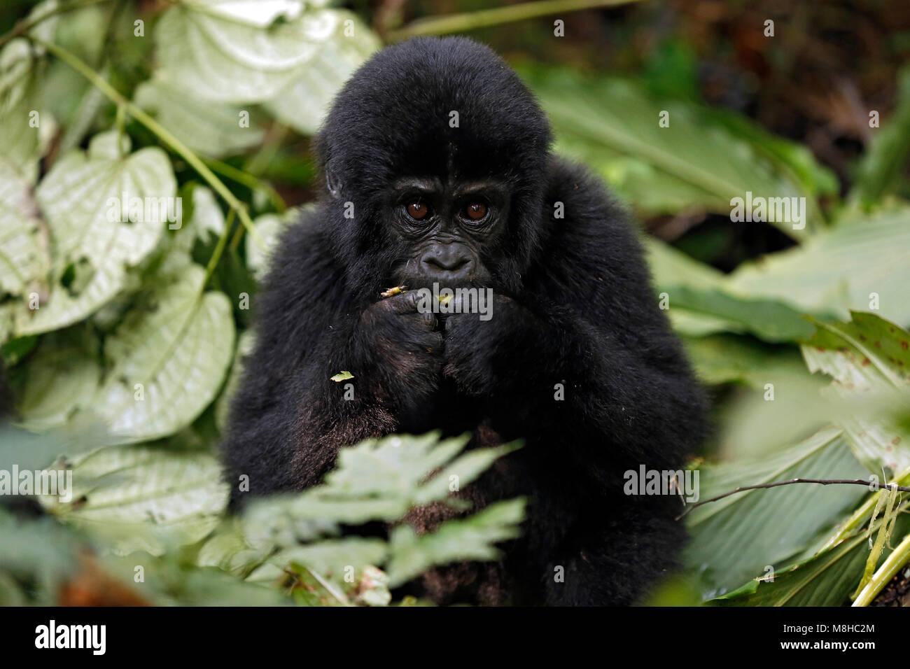 Baby Gorilla (Gorilla beringei beringei) Feeding. Bwindi Impenetrable National Park, Uganda - Stock Image