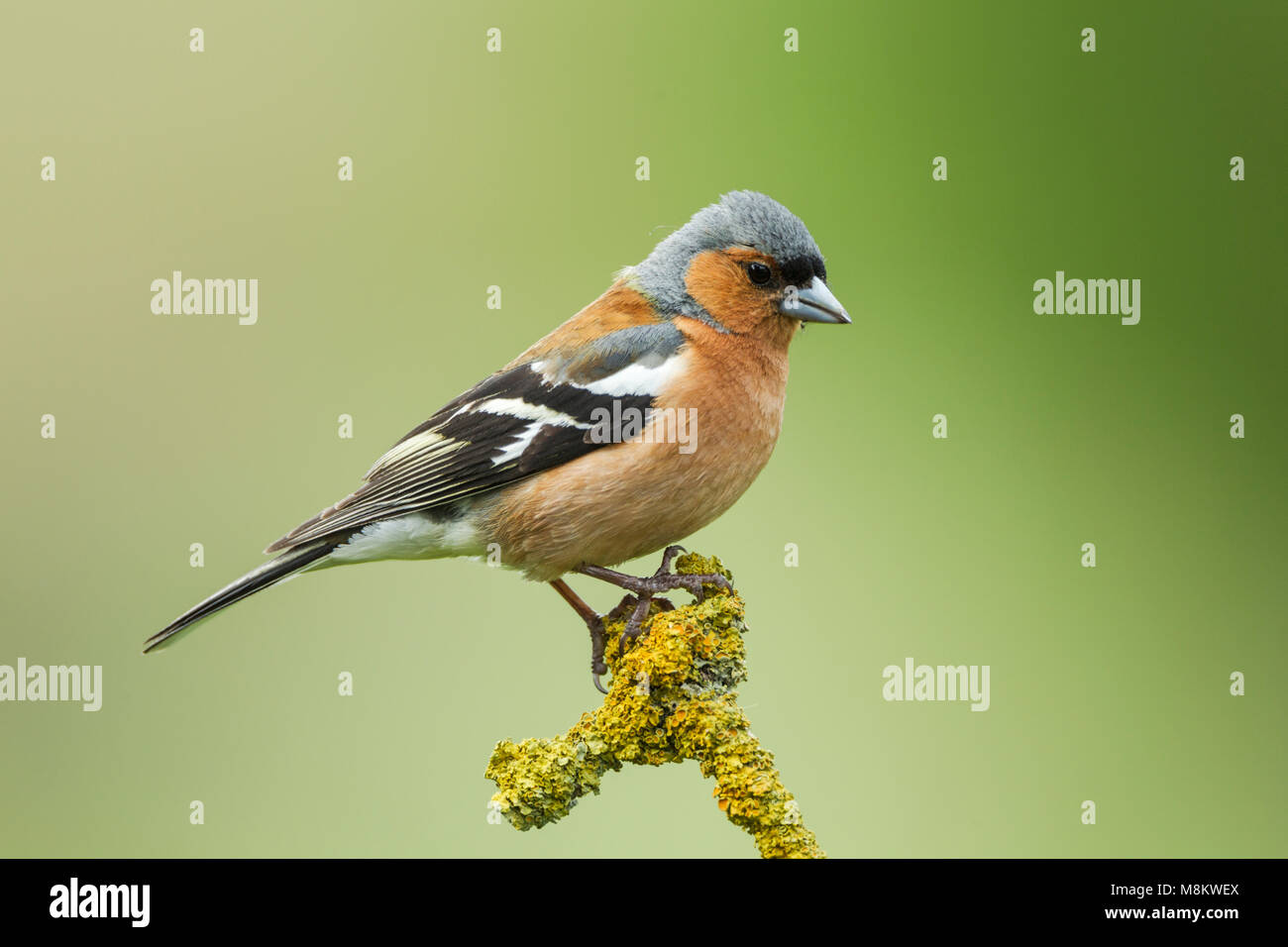 Male chaffinch, Latin name Fringilla coelebs, perched on a colourful lichen covered twig against a green background - Stock Image