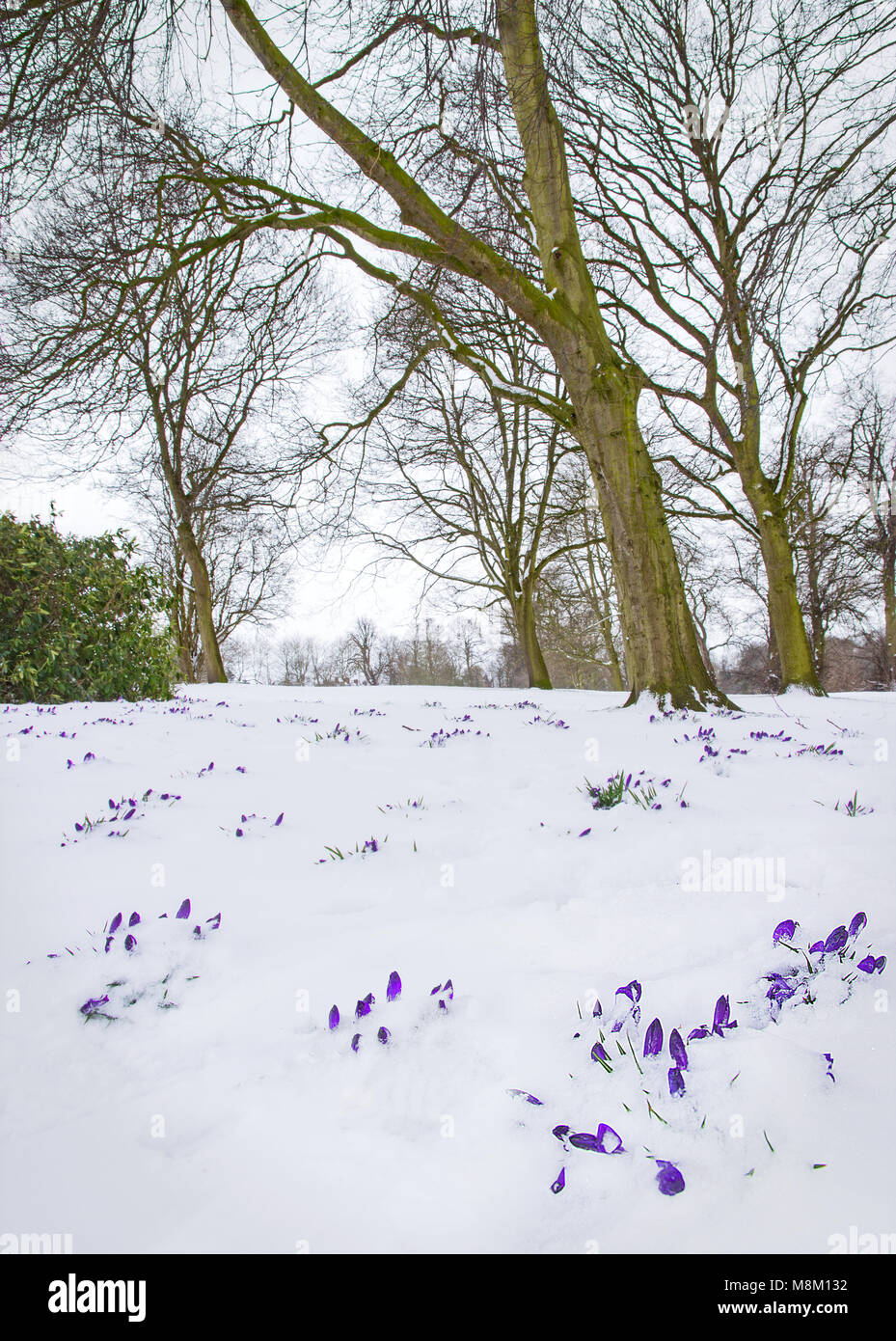 Lichfield, Staffordshire, England.  18th March 2018.  Crocuses show their heads amongst beech trees in fresh snow - Stock Image