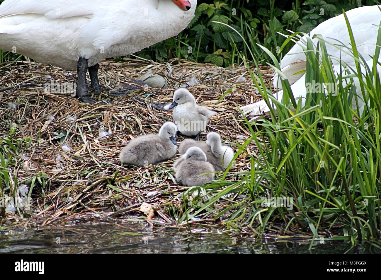 mute-swan-cygnus-olor-cygnets-on-the-nest-next-to-the-river-trent-M8PGGX.jpg