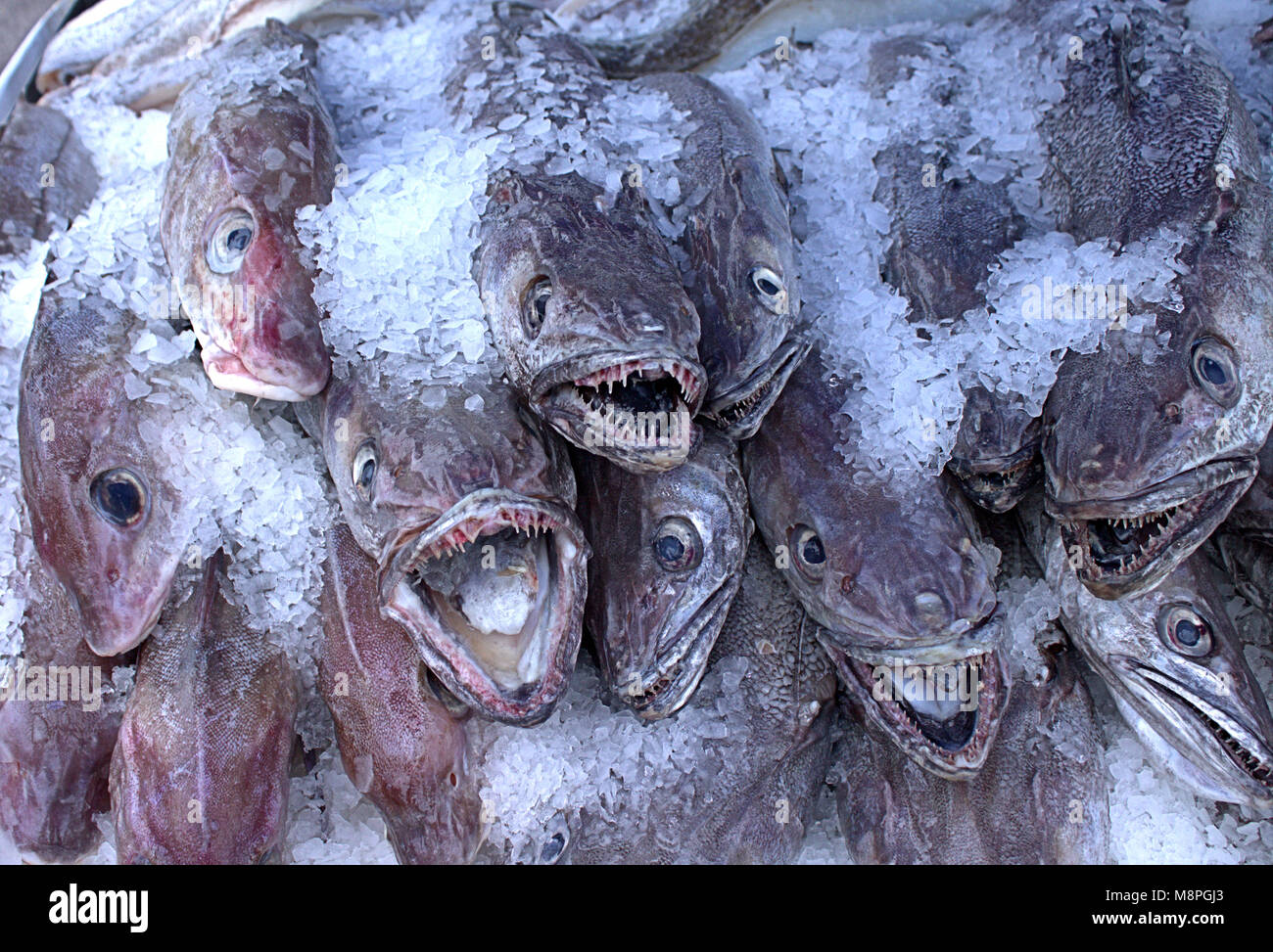 fresh-fish-on-ice-landed-that-day-on-sale-in-the-food-market-west-M8PGJ3.jpg