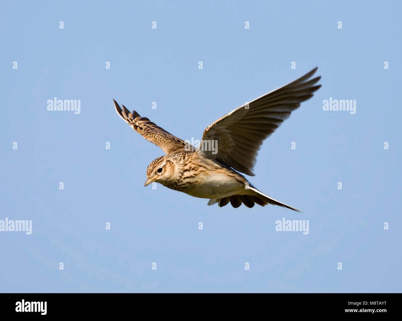 Veldleeuwerik vliegend tijdens baltsvlucht; Skylark flying during display flight - Stock Image