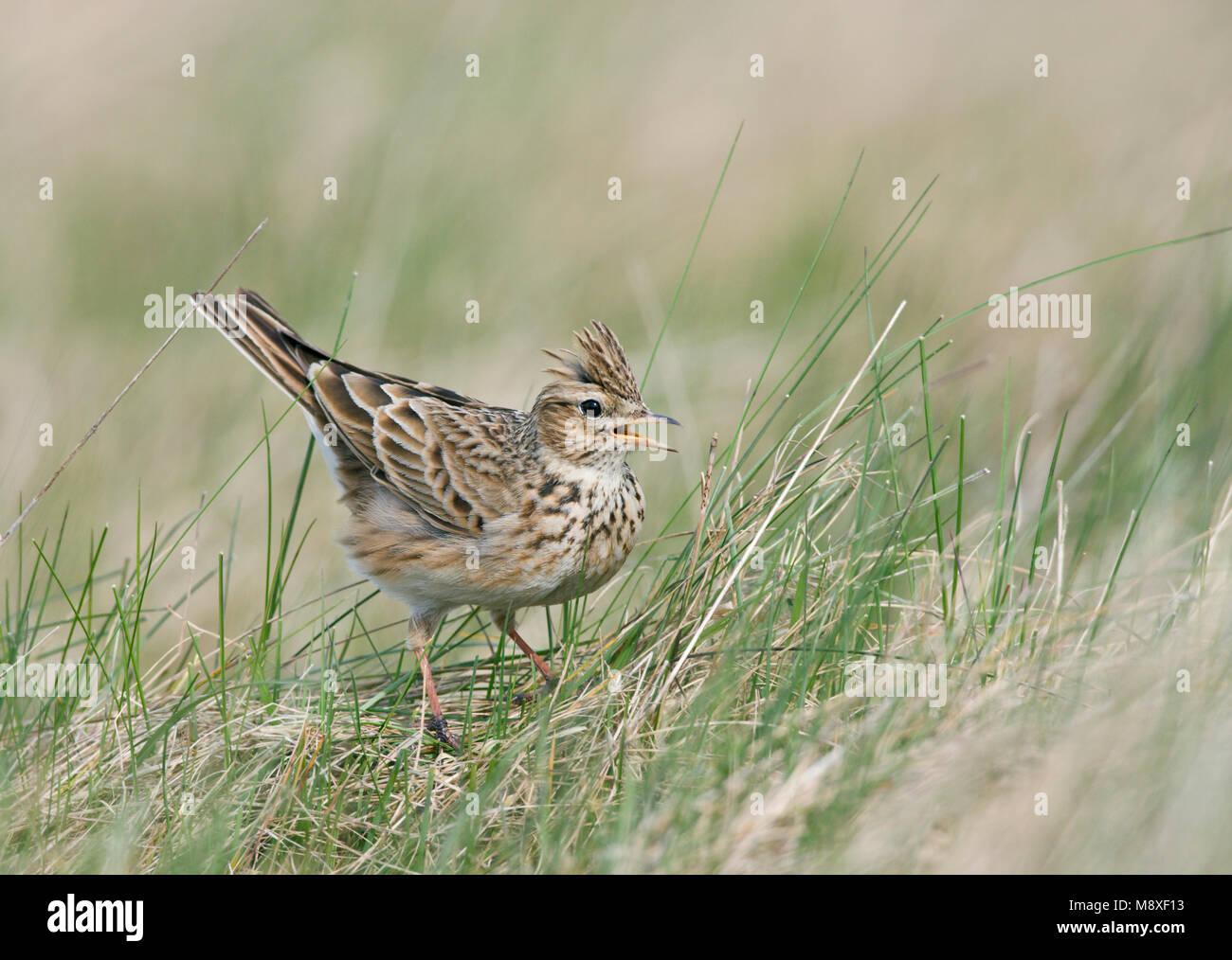 Veldleeuwerik op de grond; Eurasian Skylark on the ground - Stock Image