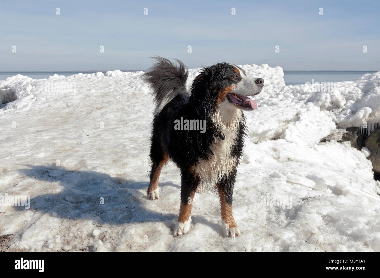 A Bernese Mountain Dog enjoys a sunny spring day with melting ice after an extremely cold spell at Oresund, the - Stock Image