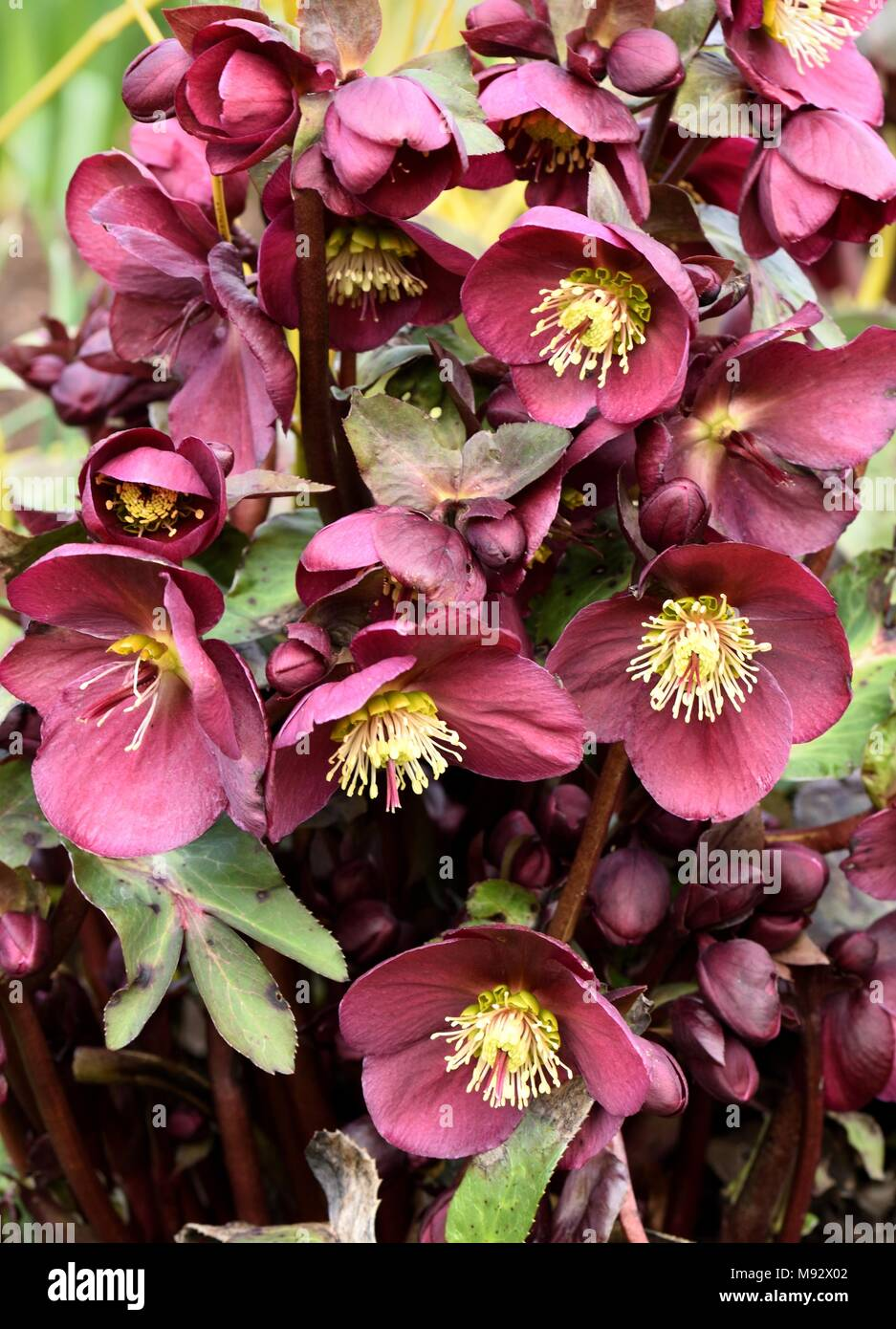 Hellebore Anna's Red Stock Photo