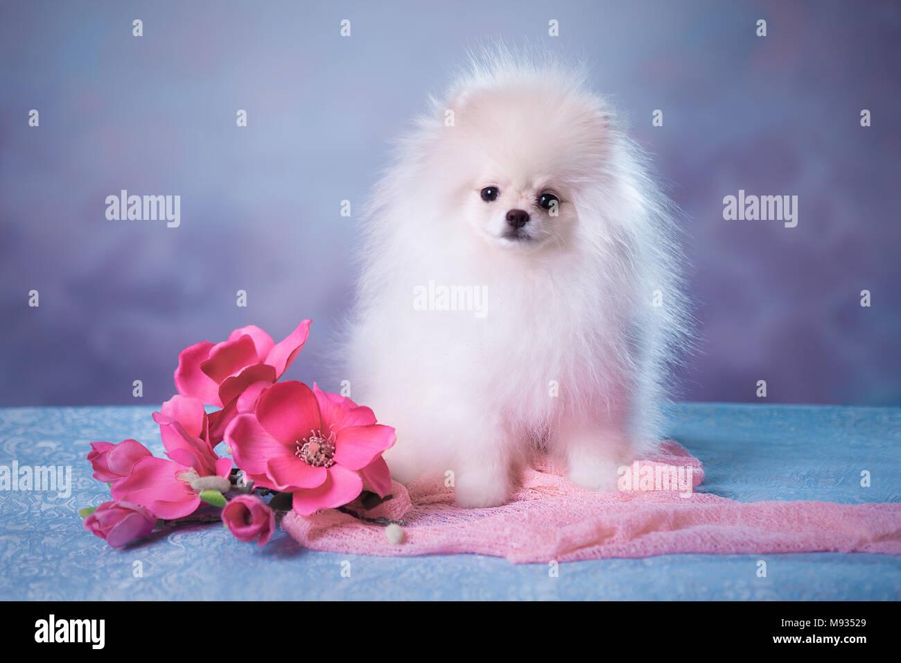 Cute White Fluffy Puppy Stock Photo 177705425 Alamy