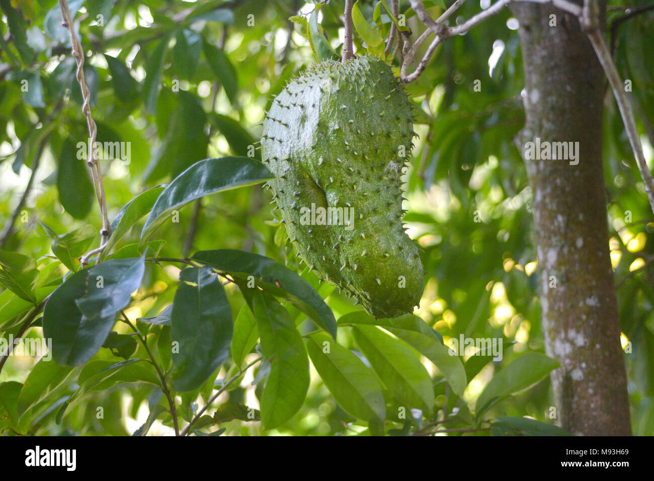 Soursop fruit grows on its tree in Rarotonga, Cook Islands