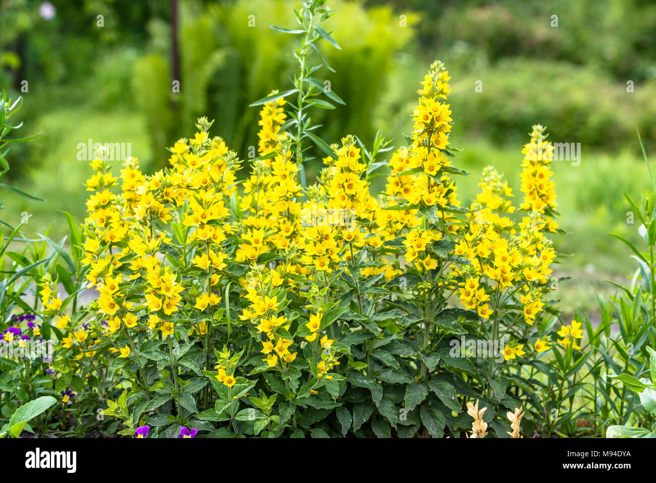 Beautiful Summer Flowers In The Garden Yellow Loosestrife