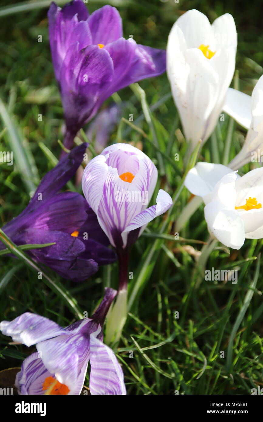 White Lilac And Purple Crocus Flowers Blooming In The English