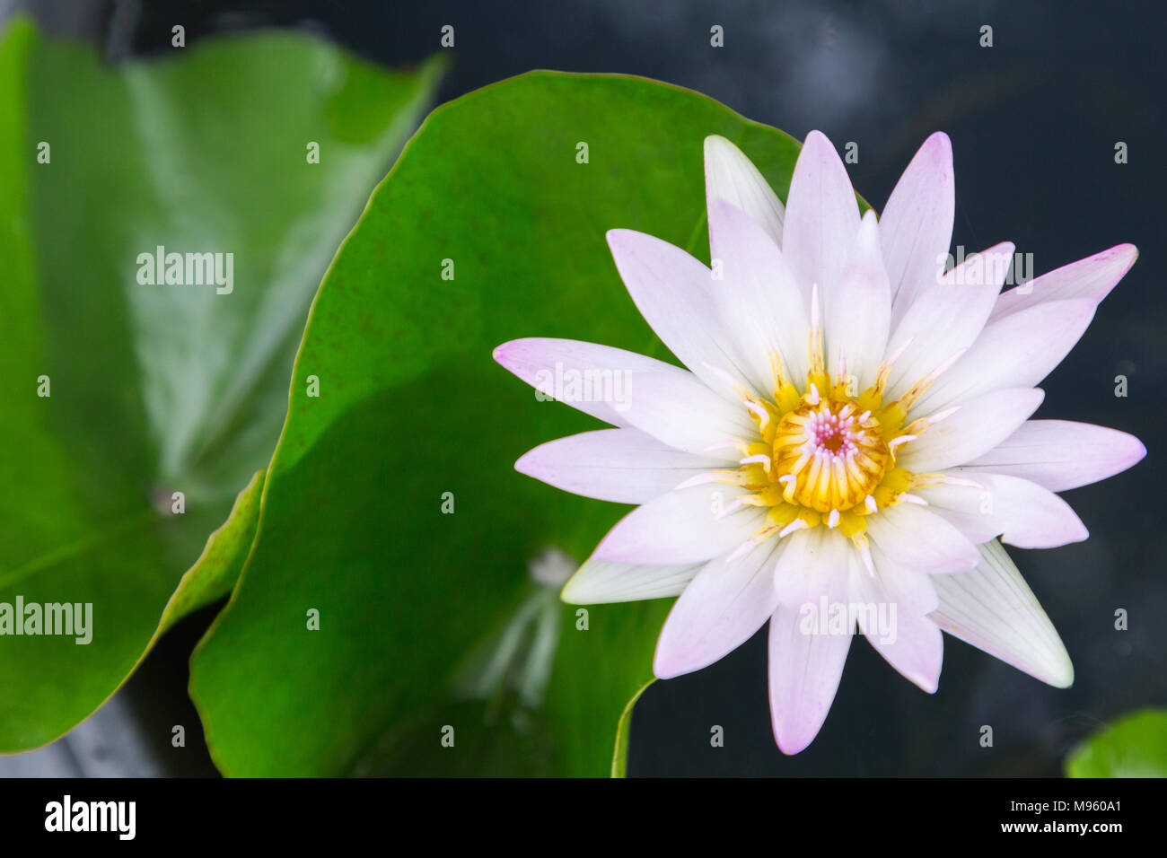 Lotus flower or water lily flower blooming with lotus leaves lotus flower or water lily flower blooming with lotus leaves background in the pond at sunny summer or spring day nymphaea water lily izmirmasajfo