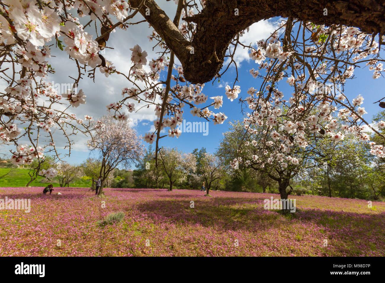 Klirou Cyprus February 28 2018 Field Of Blossoming Almond Trees
