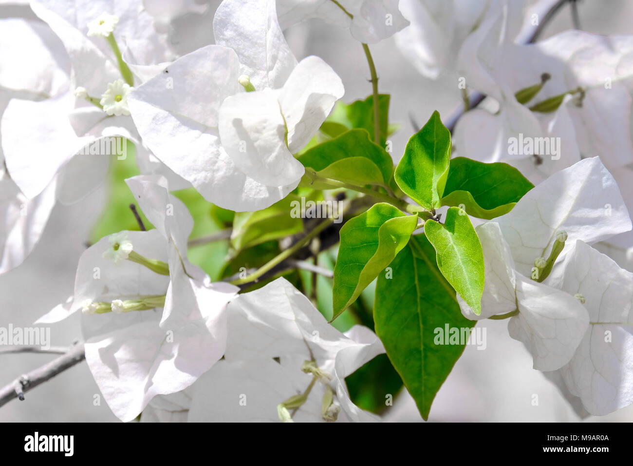 White Bougainvillea Also Known As Paper Flower With Green Leaves In