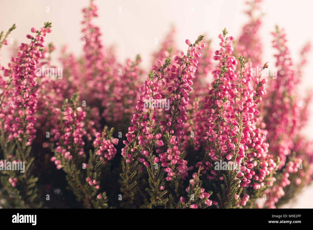 Heather Flowers In Gray Flowerpot White Background Space For Text
