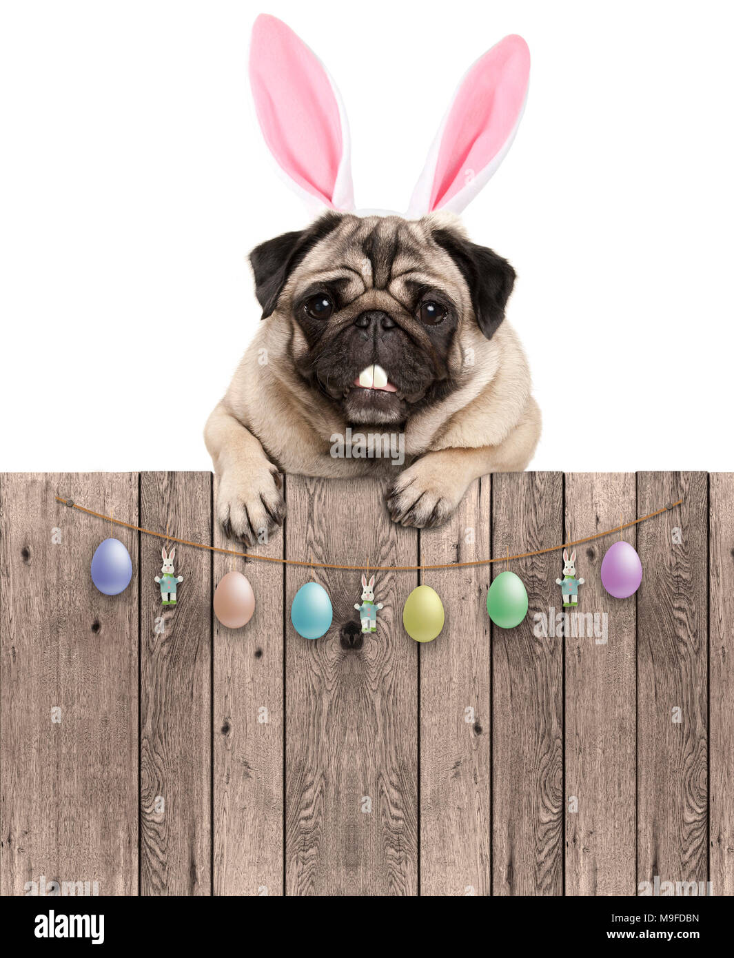 lovely pug dog with easter bunny ears diadem, hanging with paws on wooden fence with egg decoration, isolated on white background - Stock Image