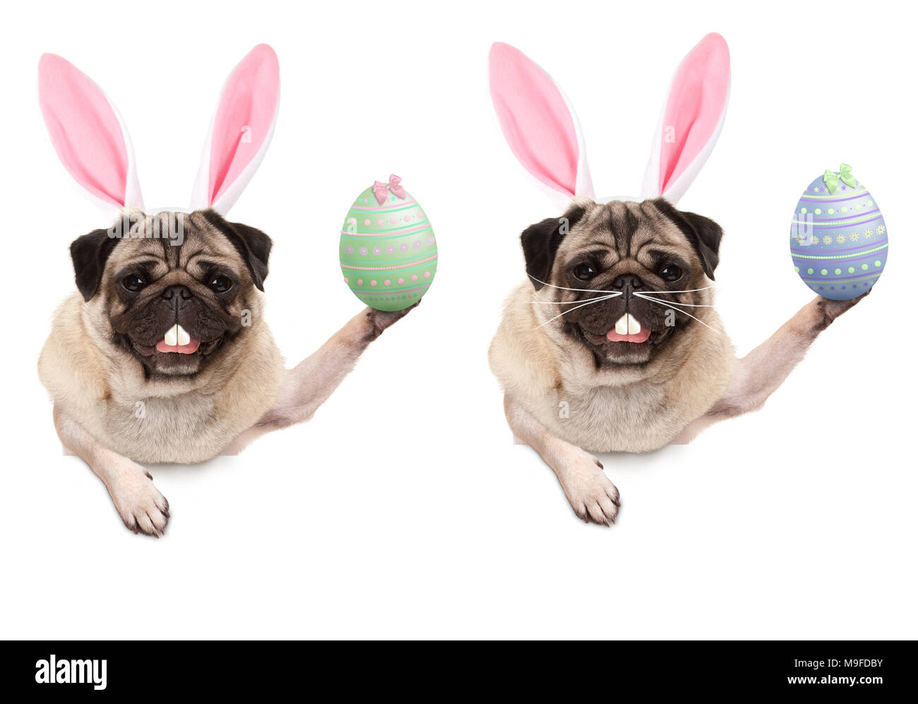 cute pug puppy dog with bunny ears diadem, holding up easter egg hanging with paws on blank banner, isolated on white background - Stock Image