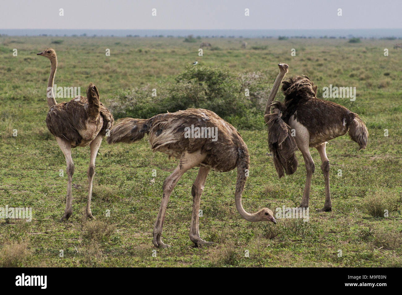 A small flock of three ostriches on the plains of the Serengei in Northern Tanzania, Africa on a sunny day with blue skies - Stock Image