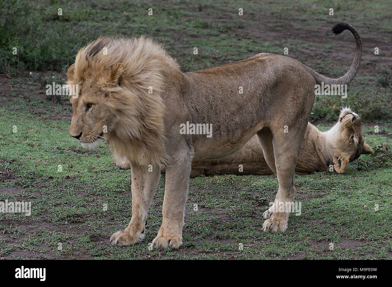 Male lion standing in front of a lioness just after mating in the Serengeti, Arush, Northern Tanzania, Africa - Stock Image