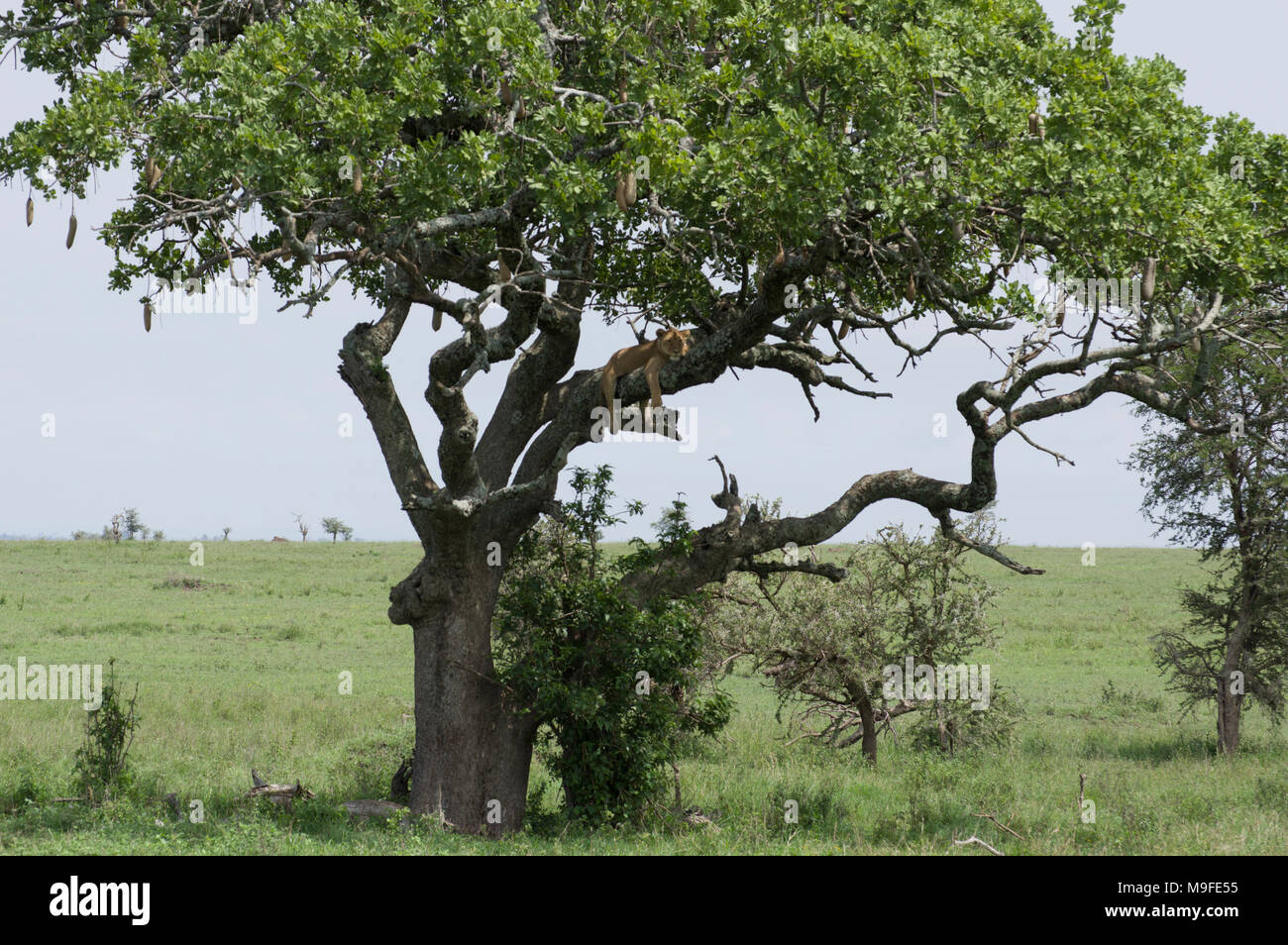 Female lion, lioness, sleeping in a sausage tree Kigelia Africana in the Serengeti Naitonal Park Tanzania her legs hanging below the branch - Stock Image