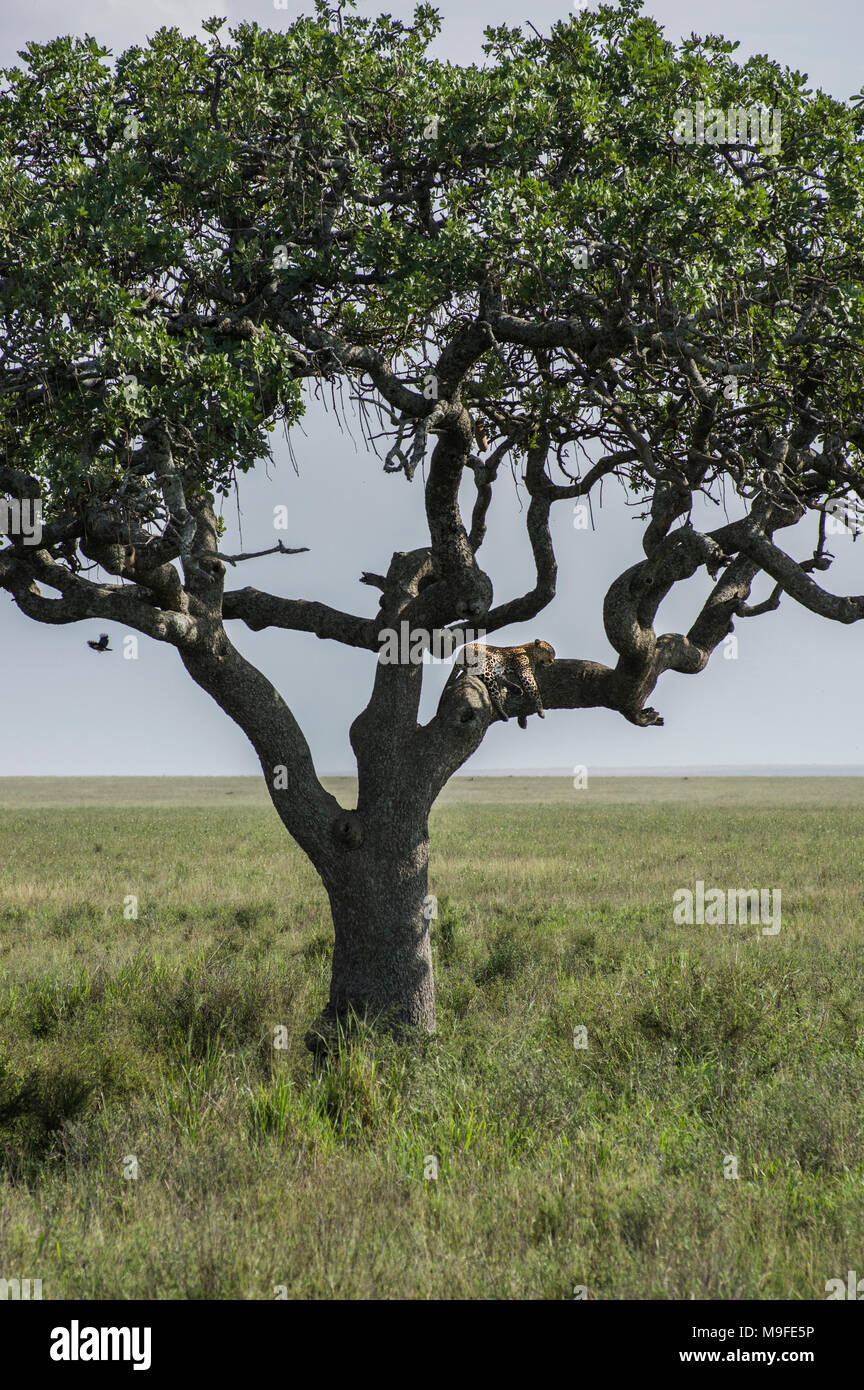 Lone leopard in an acacia tree surveying the landscape in the Serengeti, Arusha, Northern Tanzania, Africa - Stock Image