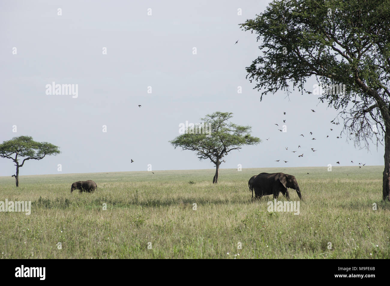 Wild African elephants under acacia trees in the serengeit national park in north tanzania on a sunny day with blue skies on the savannah - Stock Image