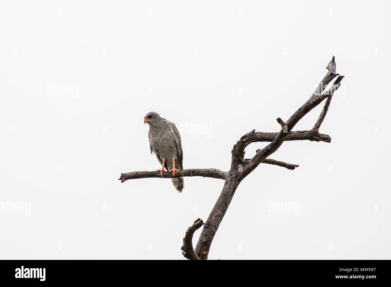 Pale chanting goshawk perched on a limb of a leafless tree in the serengeti, tanzania looking for prey - Stock Image